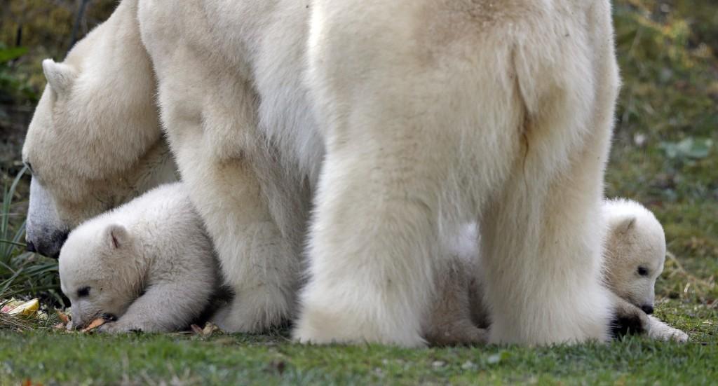 20. Pentru urșii polari, a avea gemeni nu este deloc ciudat. De fapt, ei în mod regulat nasc gemeni, mai rar doar un pui sau tripleți.
