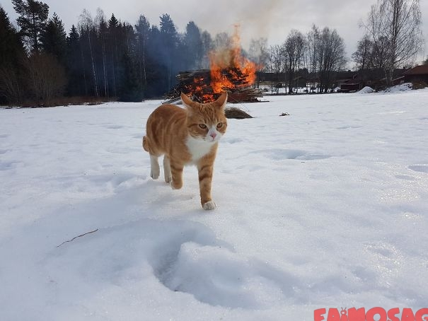 pisica gangsteriță plecând de la fața locului după ce a provocat prăpăd